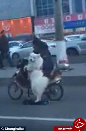 این سگ اسکوتر سوار میشود +تصاویر