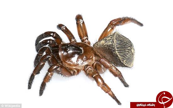 این عنکبوت ترسناکترین حیوان خانگی است +تصاویر