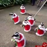 باشگاه خبرنگاران -پنگوئنها هم کریسمس را جشن میگیرند +تصاویر