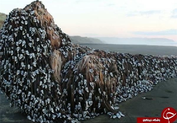 شیء عجیب در ساحل نیوزلند +تصاویر