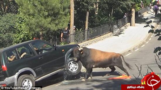 گاو عصبانی به شاسی بلند هم رحم نمیکند +تصاویر