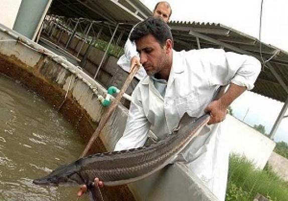باشگاه خبرنگاران - آغاز پرورش ماهیان خاویاری اوزون برون در پارس آباد برای اولین بار در استان اردبیل