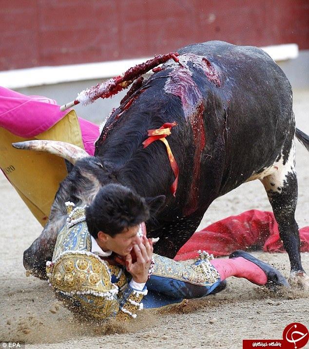 لحظه هولناک پاره شدن گلوی یک مرد در مسابقات گاوبازی اسپانیا+ تصاویر
