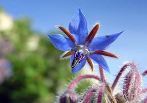 درباره گل گاوزبان بدانيد / خواص گل گاوزبان