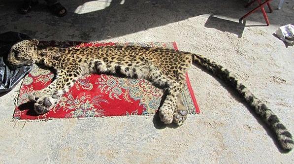 پلنگ مازندران؛ شکارچی که در حال شکارشدن است