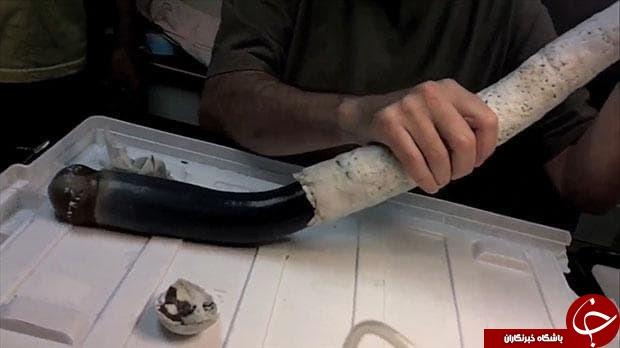 پیدا شدن یک کرم غولپیکر زنده برای نخستین بار+ تصاویر