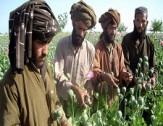 باشگاه خبرنگاران -طالبان در ولایت فراه مردم را به کشت مواد مخدر تشویق میکند