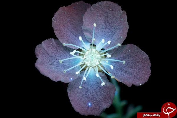 اگر چشمان ما به اشعه ماوراء بنفش مجهز بود گلها را چگونه میدیدیم؟+ تصاویر
