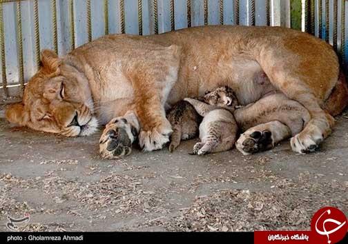 تولد سه توله شیر آفریقایی در باغ وحش بابلسر+عکس