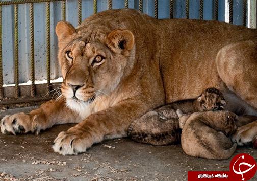 تولد سه توله شیر آفریقایی در باغ وحش بابلسر + تصاویر