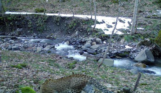 مشاهده دو قلاده پلنگ در مناطق جنگلی شهرستان تنکابن