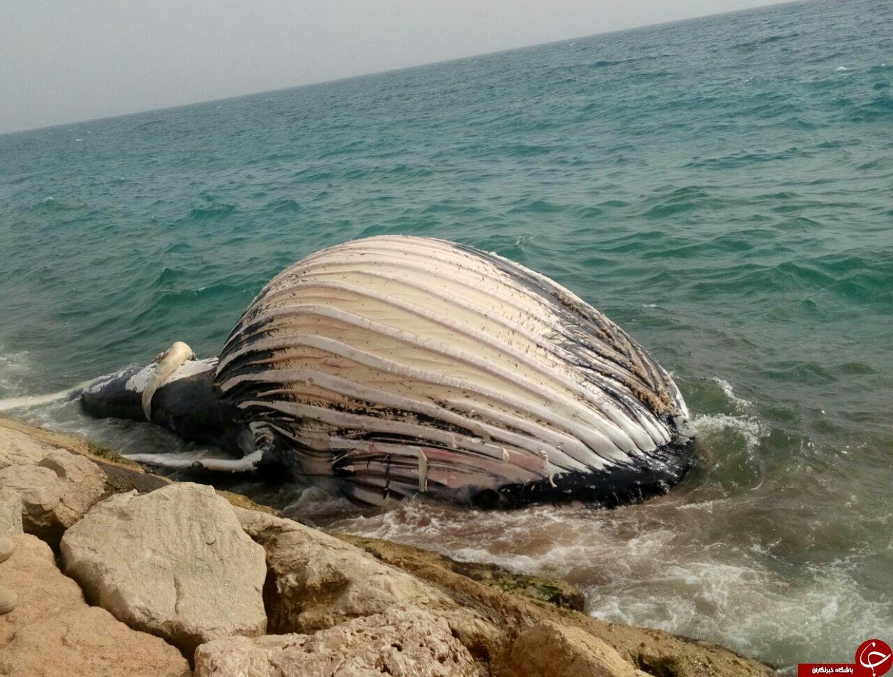 نهنگ به گِل نشسته در ساحل خلیج فارس + فیلم و تصاویر