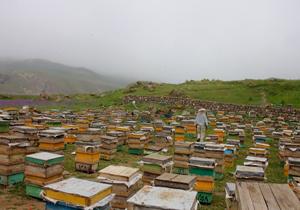 انتقال ۷۵ هزار کلنی زنبور عسل به چهارمحال و بختیاری