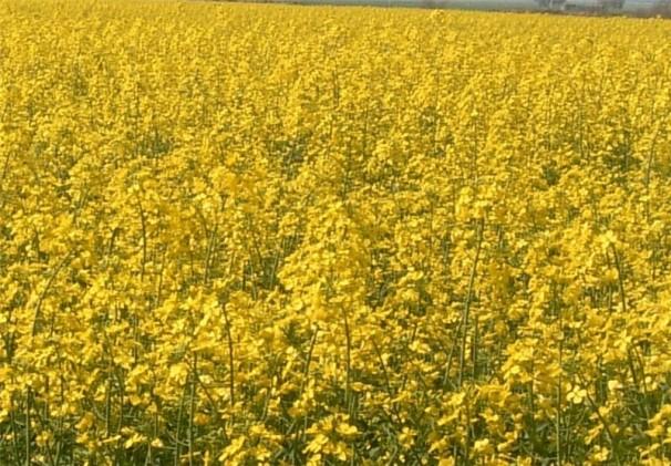 ضرورت توسعه کشت دانه های روغنی در آذربایجان شرقی