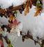 باشگاه خبرنگاران - خطر سرمازدگی در کمین شکوفههای بادام
