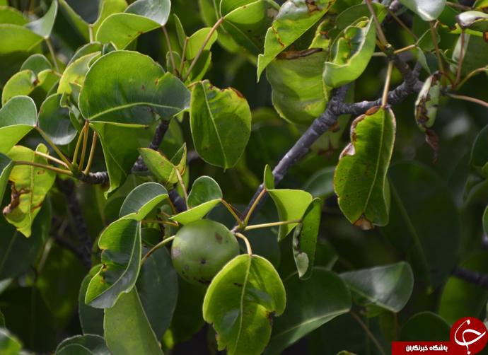 سیبچه مرگ؛ درخت ممنوعهای که هرگز نباید به آن نزدیک شد+ تصاویر