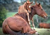 باشگاه خبرنگاران -وقتی اسب وحشی به خاطر کره اش رام می شود + فیلم