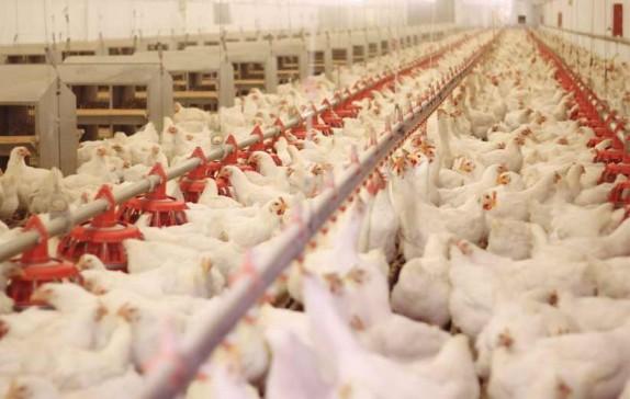 باشگاه خبرنگاران -نارسایی در پوشش بیمهای صنعت مرغداری/برای کاهش خسارات آنفولانزای مرغی چه برنامهای وجود دارد؟