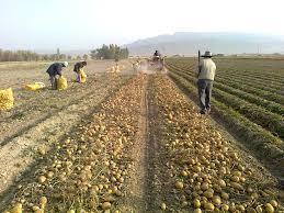 برداشت سیب زمینی ارزوئیه آغاز شد