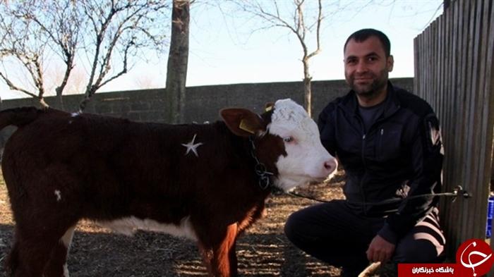 راز گاو یک میلیون دلاری در یکی از دامداری های ترکیه چیست؟+عکس