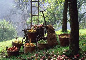 وقتی میوههای شمال کشور به نام محصولات خارجی به فروش میرسند/ تبعات چیدن بیرویه میوههای جنگلی چیست؟