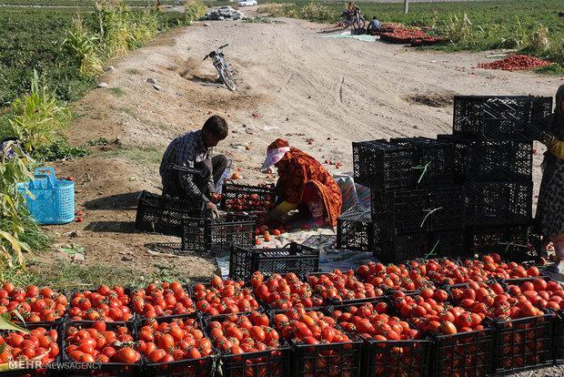 مرزها و گره صادرات گوجه فرنگی استان بوشهر باز شود