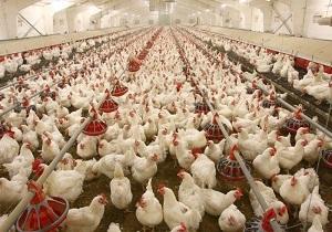 آخرین جزئیات پرداخت خسارت مرغداران