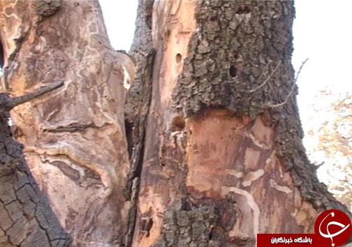 نفس ریههای تنفسی ایران به شماره افتاده است/ چرا کسی به فکر خشکیدگی درختان بلوط نیست؟