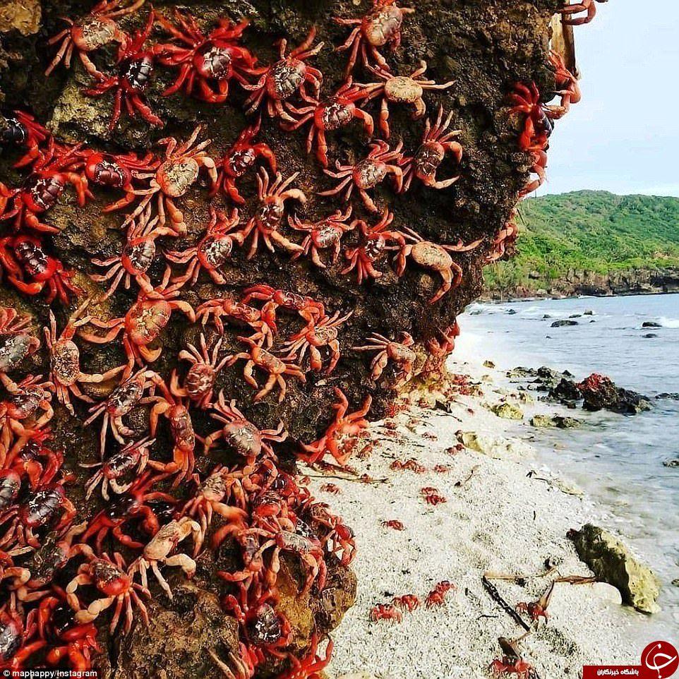 هجوم خرچنگهای قرمز به جزیره کریسمس+تصاویر