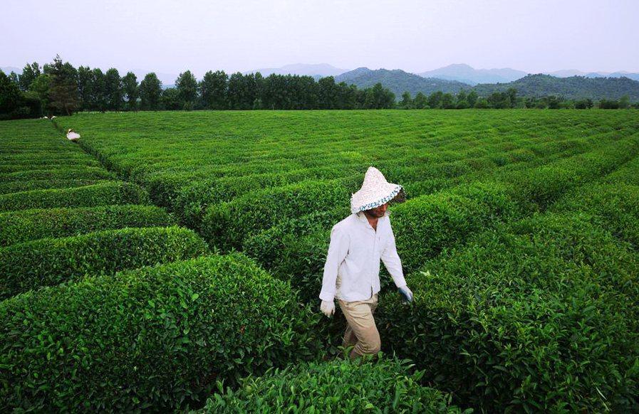 خرید بیش از 100 هزار تن برگ چای از چایکاران