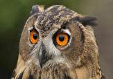 باشگاه خبرنگاران -رهاسازی یک پرنده شاه بوف در طبیعت سنندج
