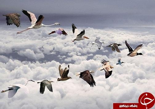زنگ هشدار بحران جدی انقراض پرندگان /میش مرغ پرنده اساطیری ایران زمین در انتظار معجزه