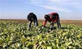 باشگاه خبرنگاران - افزایش 13درصدی برداشت چغندر از مزارع کشاورزی رضوی