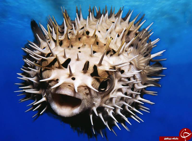 ماهی بادکنکی خطرناکترین ماهی جهان+تصاویر