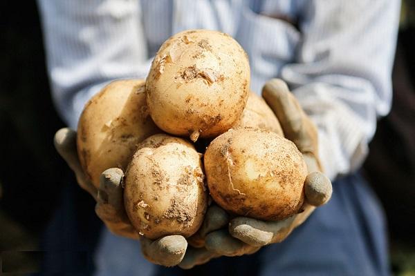 استان اردبیل قطب تولید بذر سیب زمینی در کشور