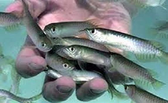 باشگاه خبرنگاران -رهاسازی افزون بر 2 میلیون قطعه بچه ماهی در منابع آبی کردستان