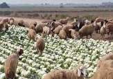 باشگاه خبرنگاران - چرای گوسفندان در مزرعه کلم!! + فیلم