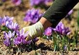 باشگاه خبرنگاران -تخصیص یارانه میلیونی برای خرید پیاز زعفران
