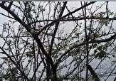 باشگاه خبرنگاران - درخت آلوچه در زمستان به بار نشست + فیلم