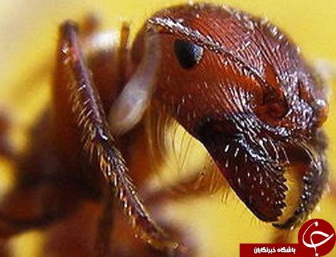 مورچه های آدمخوار مورچه گلوله زن مورچه راننده مگس پاشنه چیست معنی کاترپیلار چیست عکس مورچه عکس مگس تسه تسه عکس حشرات خطرناک عکس حشرات صدپا چیست زنبورهای قاتل زنبورهای غول پیکر زنبور کشنده زنبور آسیایی خطرناکترین زنبور جهان خطرناکترین حیوان حیوانات عجیب دنیا تصاویر حشرات زیبا انواع مورچه ها