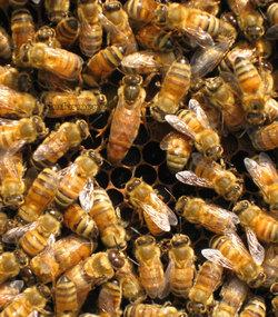 تلاش جالب زنبورها برای نجات جان ملکه!+عکس