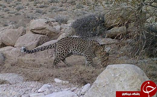ثبت تصویر ۵ قلاده پلنگ ایرانی در منطقه شکار ممنوع آرسک دامغان