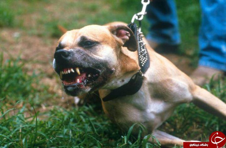 حمله مرگبار سگ پیت بول به یک زوج + تصاویر