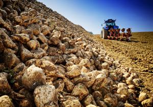 افزایش ۵۱ درصدی تولید چغندر قند در چهارمحال و بختیاری