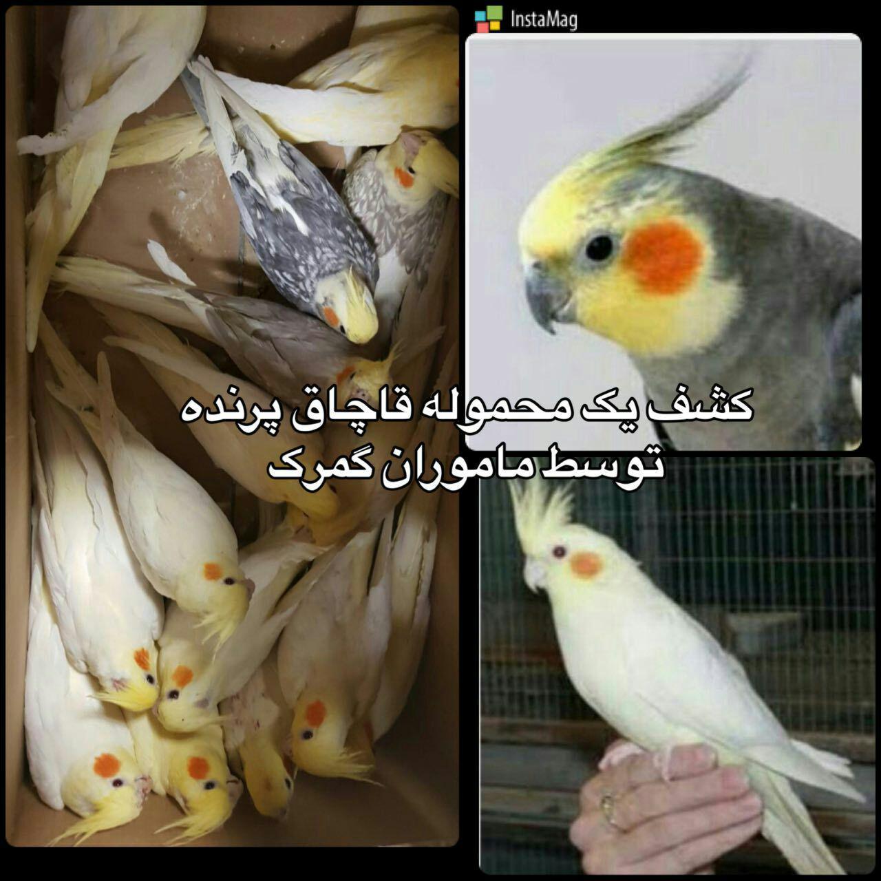 کشف محموله قاچاق پرنده در گمرک+عکس