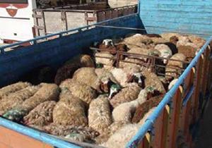 150 راس دام قاچاق در استان همدان