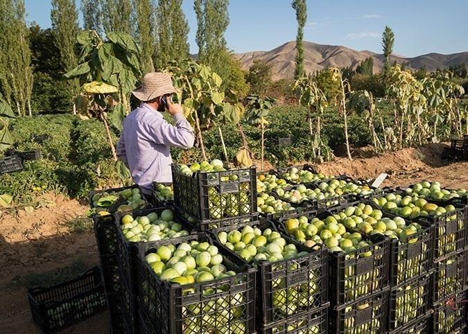 ۳۶۰ هزار تن گوجه فرنگی خارج از فصل در شهرستان دیر تولید میشود