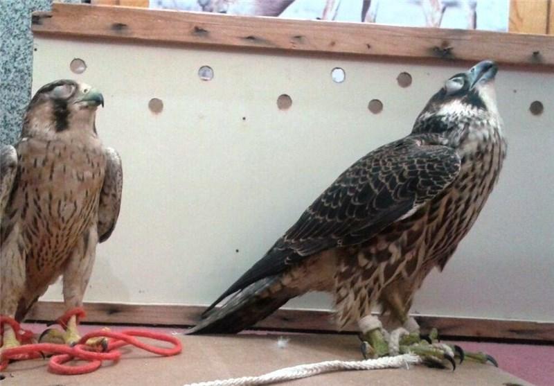 پرنده شکاری قاچاق به ارزش ۴.۶ میلیارد ریال در تنگستان کشف شد
