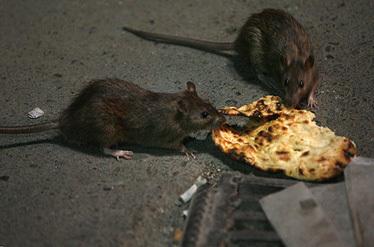 اصلاح شود/// ماجرای حمله موشهای آدمخوار به پایتخت نشینان صحت دارد؟
