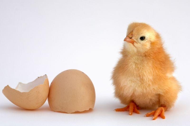 قیمت جوجه یکروزه روند افزایشی به خود گرفت/ بی ارتباطی آشفتگی بازار سایر کالاها بر مرغ